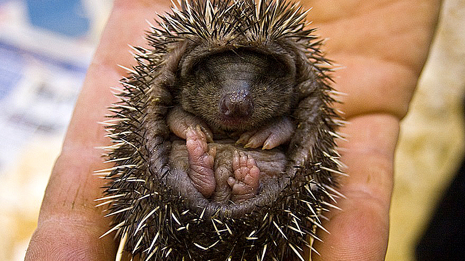Battersea Park Children's Zoo baby hedgehog