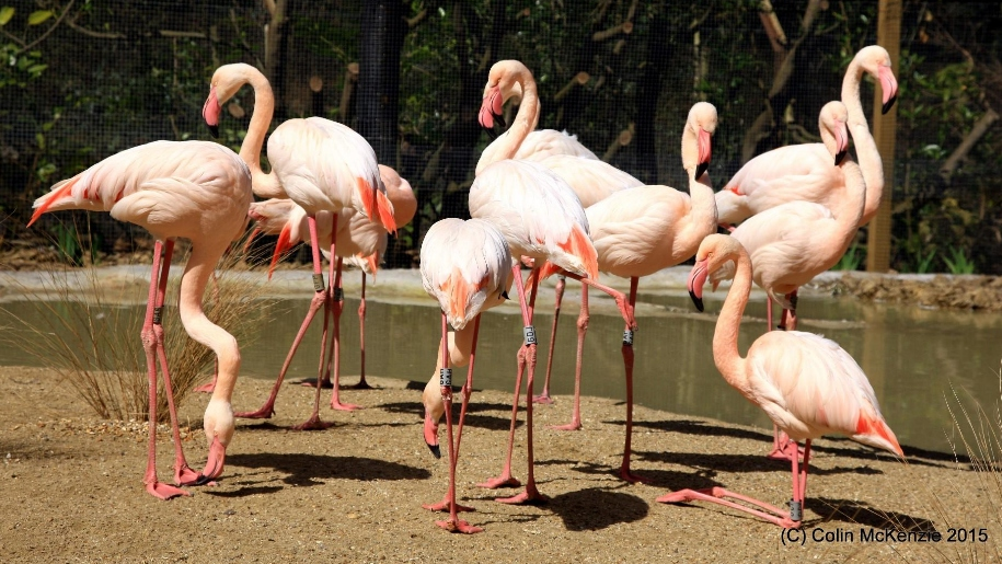 flamingos at birdworld