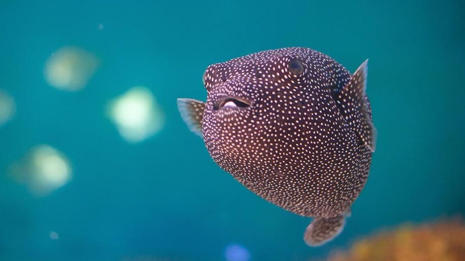 Blue Reef Aquarium Puffa Fish