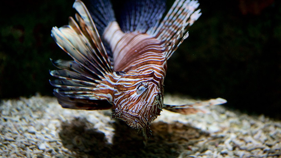 Blue Reef Aquarium Lion Fish
