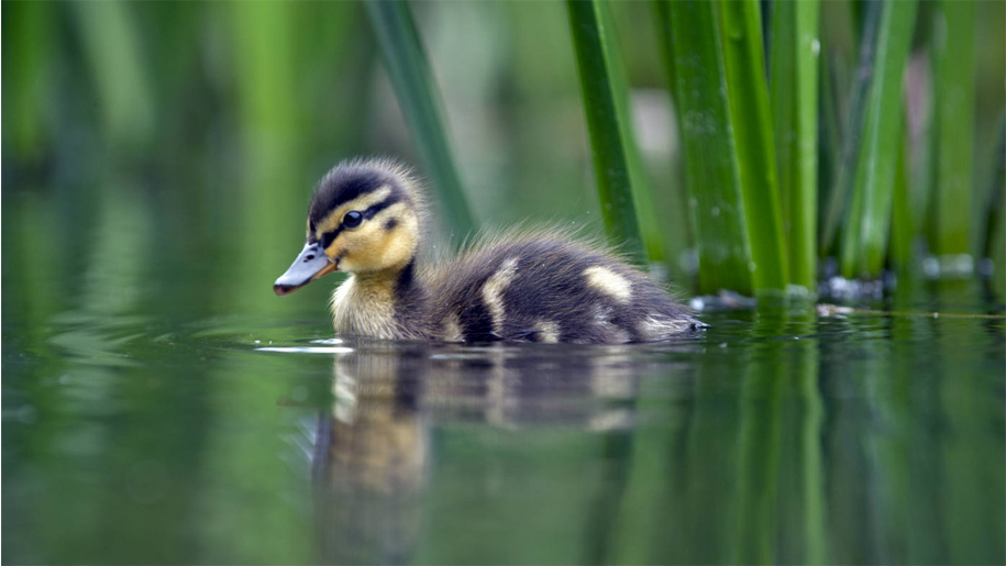 duckling in river by reeds