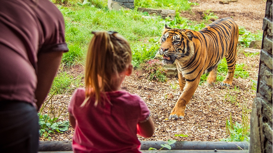 Child looking at tiger