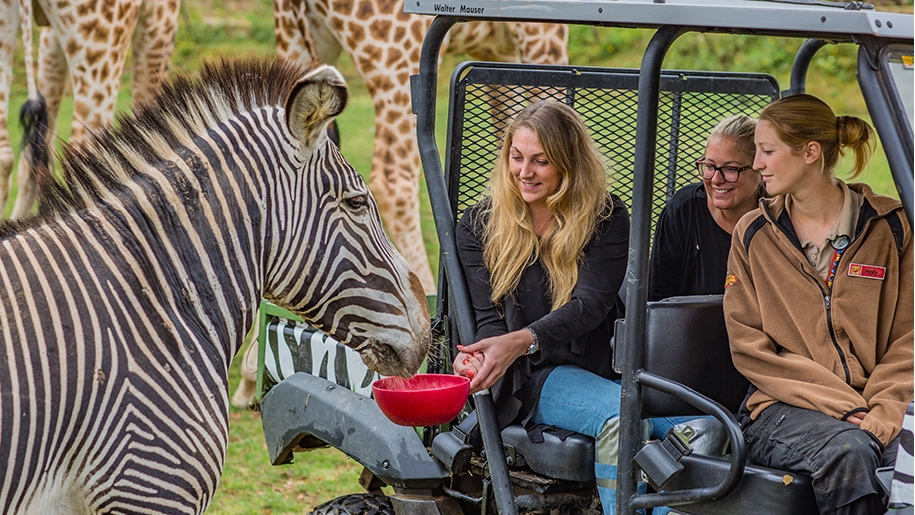 Woman feeding zebra