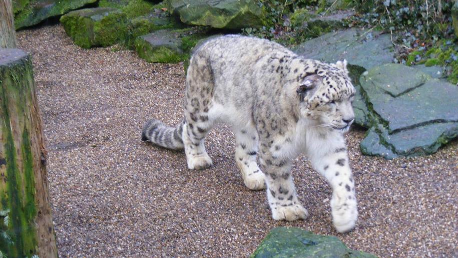 Dudley Zoo Snowleopard