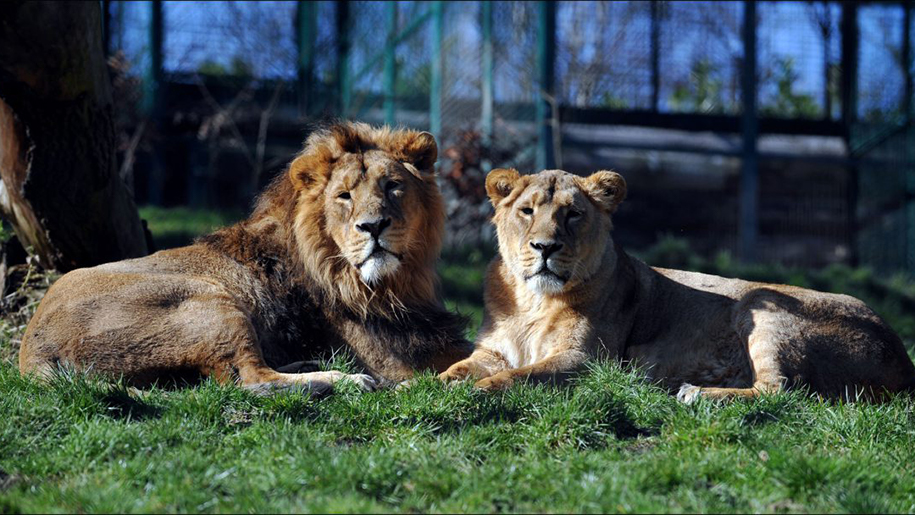 Dudley Zoo Lions