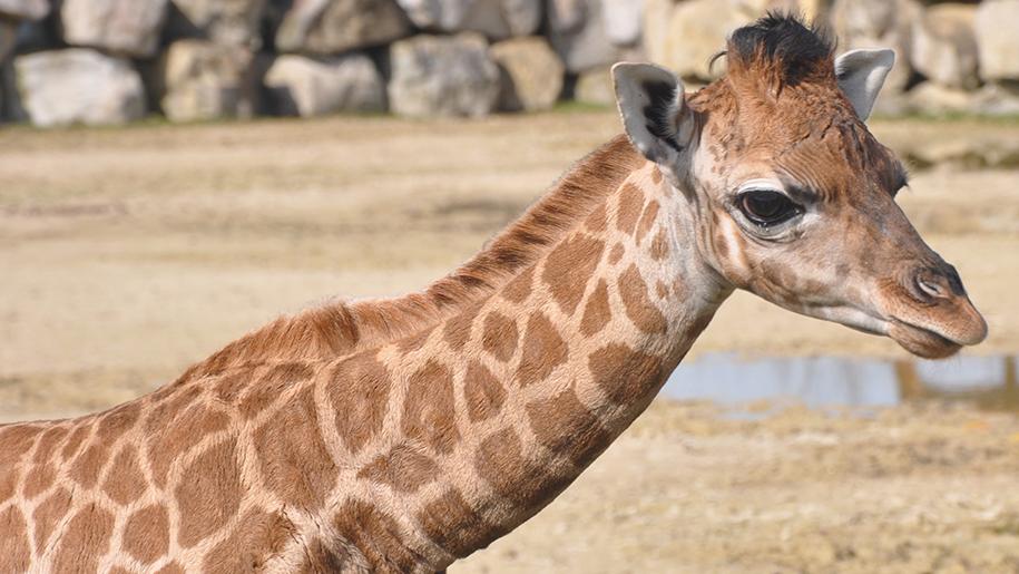 Flamingo Land Giraffe