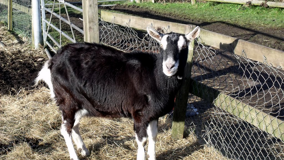 goat by fence