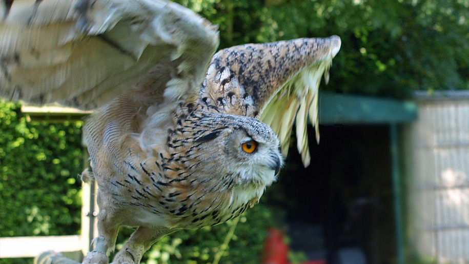 Liberty's Owl and Raptor Centre owl flying