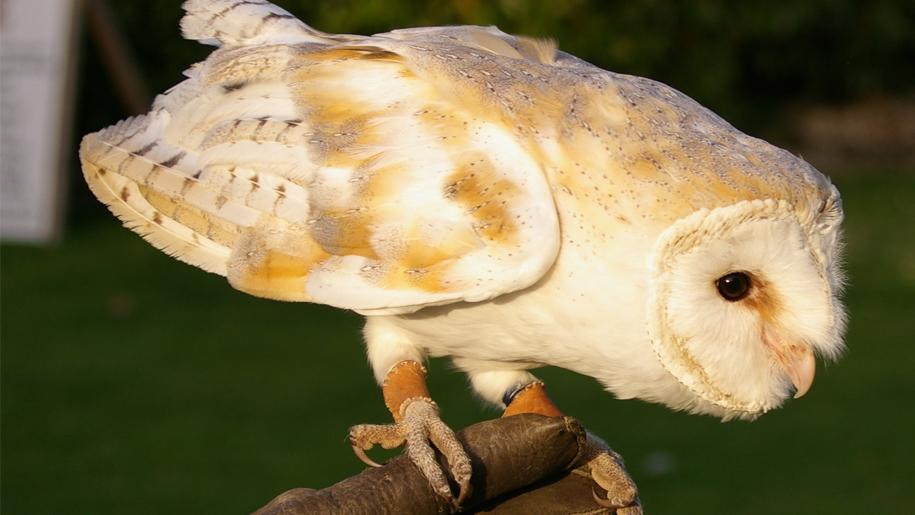 owl on glove