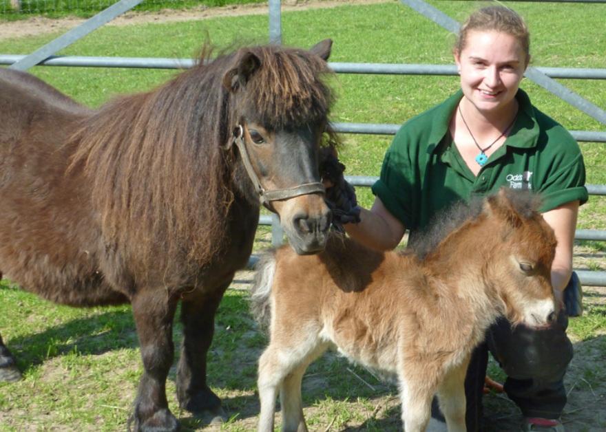 shetland pony and foul