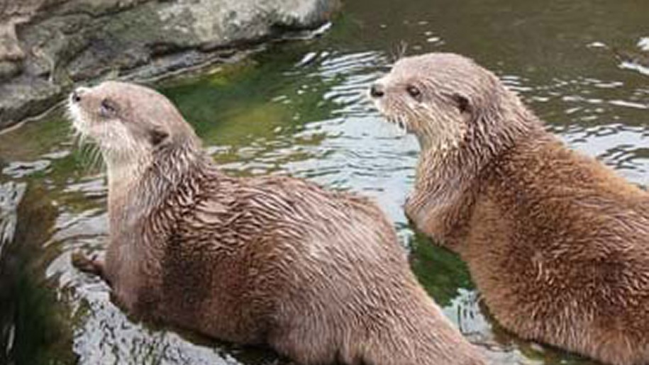 Otters at SEA LIFE Loch Lomond