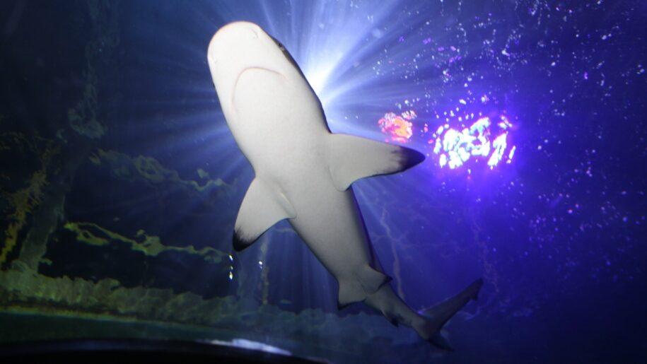 Shark at SEA LIFE Loch Lomond