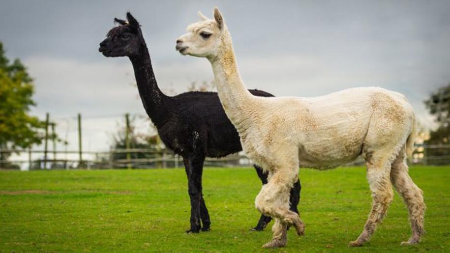 black and white llamas