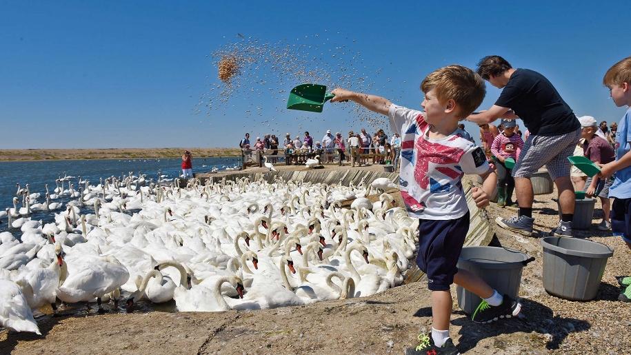 boy feeding swans