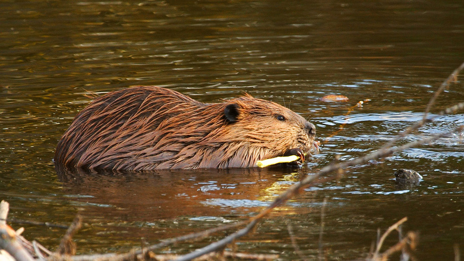 Beaver Water World Beaver