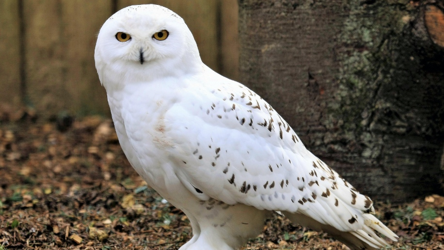 snowly owl at birdworld