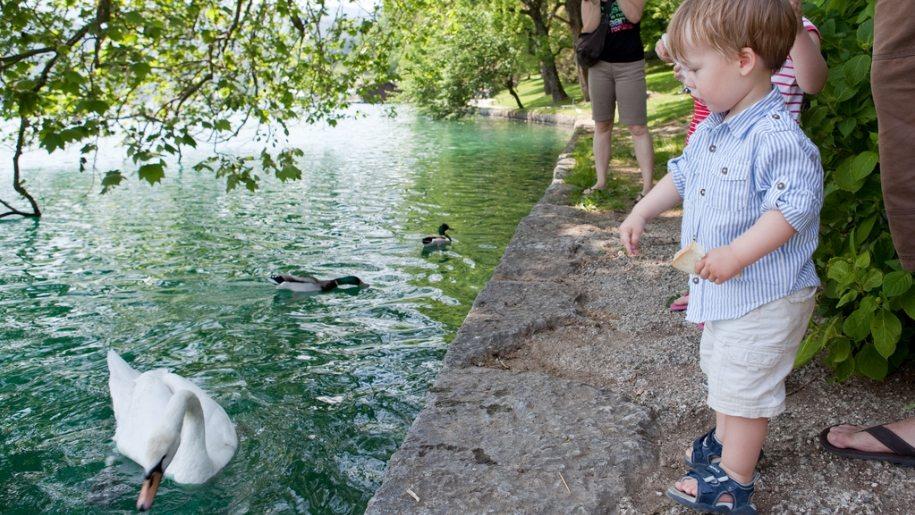 child feeding a swan