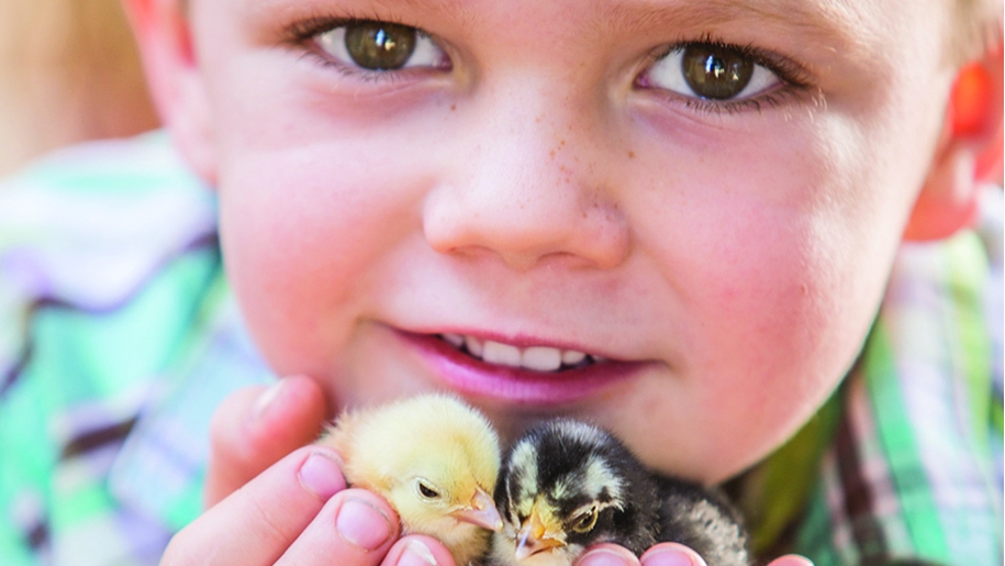 cholderton charlie's Farm child with chicks