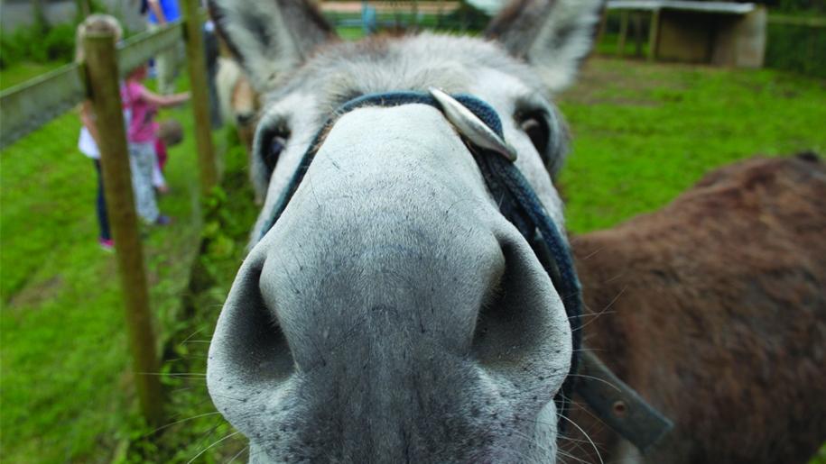 cholderton charlie's Farm donkey