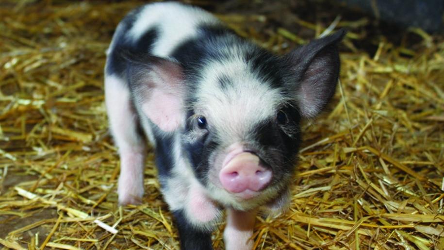 cholderton charlie's Farm piglet