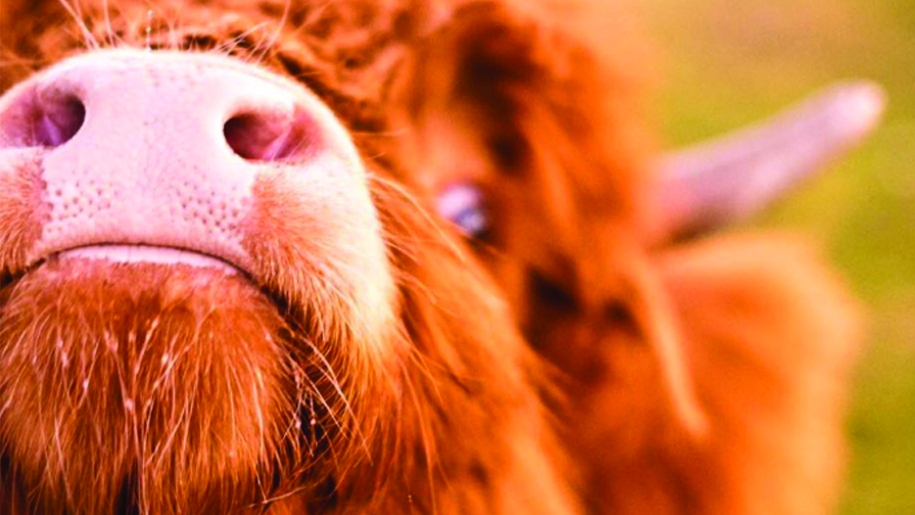 cholderton charlie's Farm cow