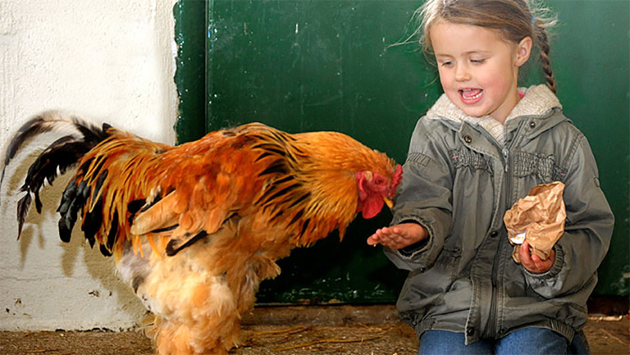 boy feeding chicken