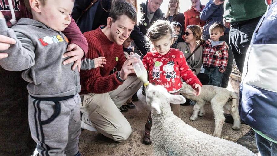 man feeding lamb