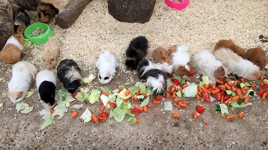 Farmer Palmers guinea pigs