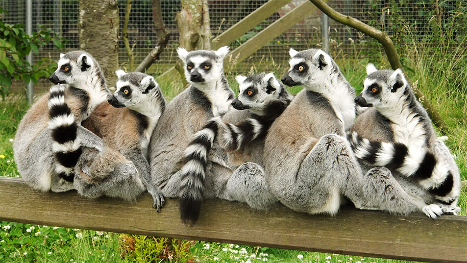 lemurs sitting on fence