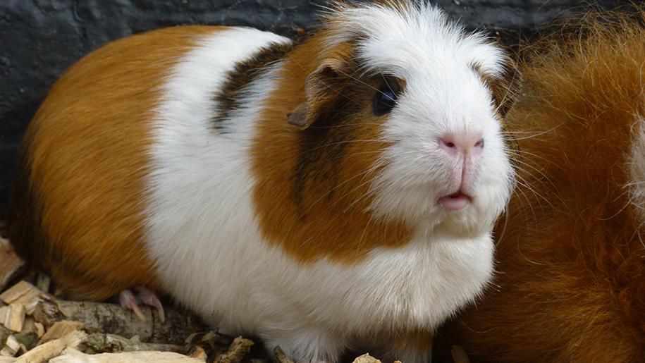Godstone Farm guinea pig