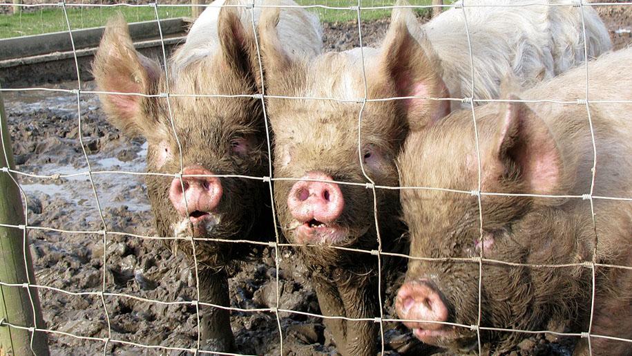 Hatfield Park Farm Pigs