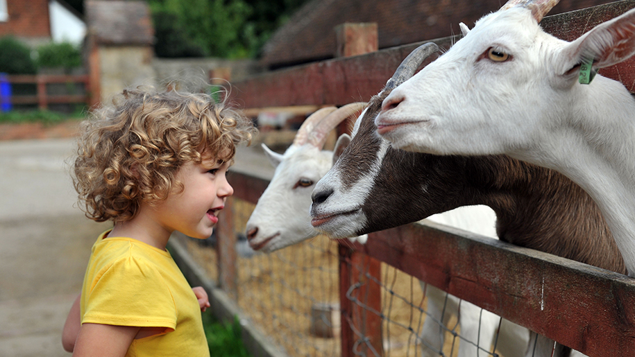 Kent life kid with goats