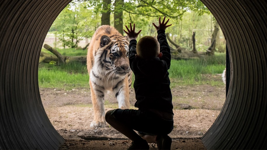 child looking at tiger in enclosure