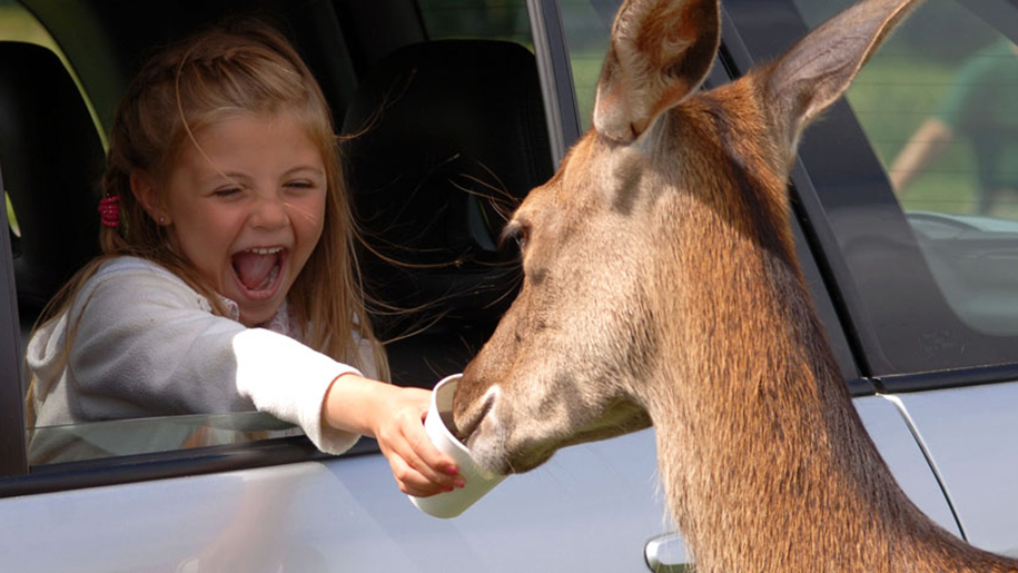 Longleat child feeding deer