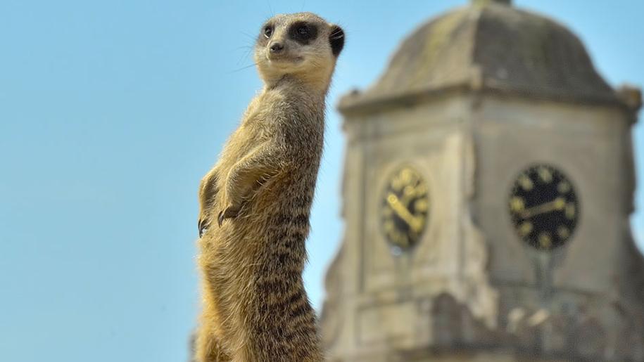 Longleat meerkat