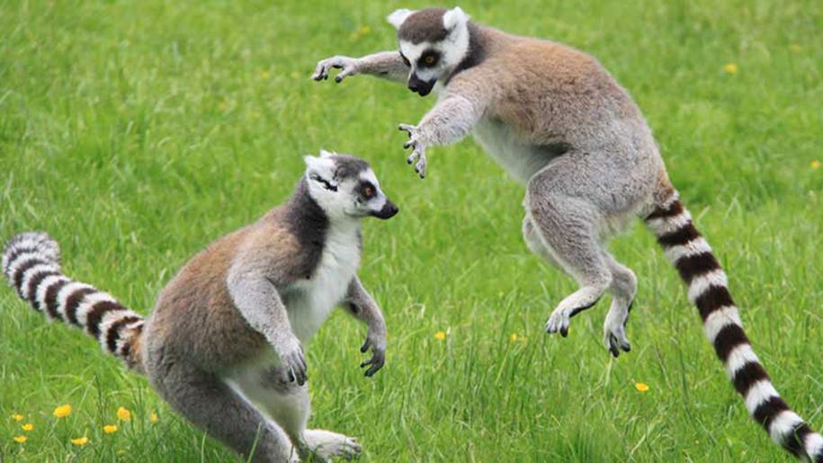Longleat lemurs