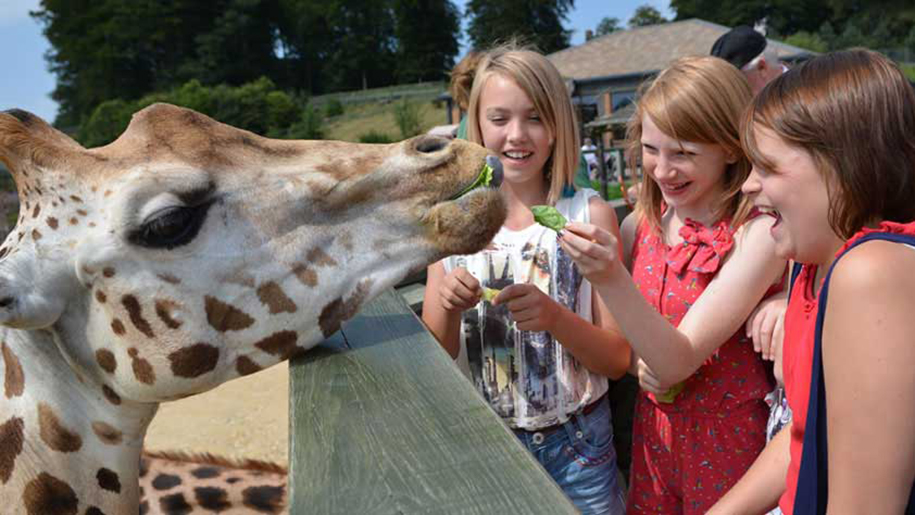 Longleat kids feeding giraffes