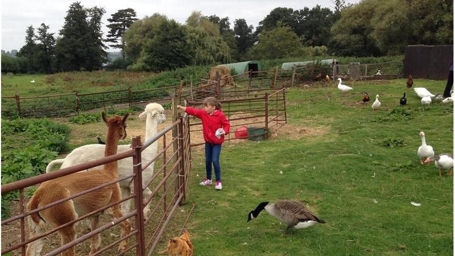 girl feeding llamas
