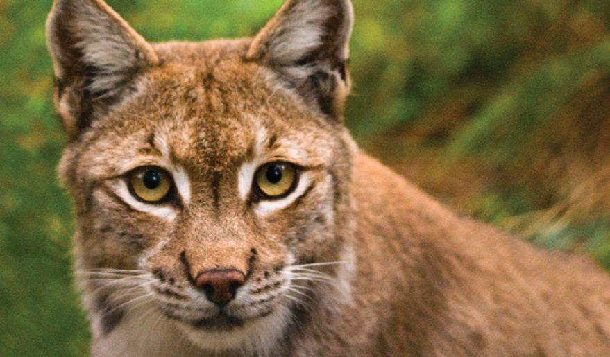 New Forest Wildlife Park wild cat