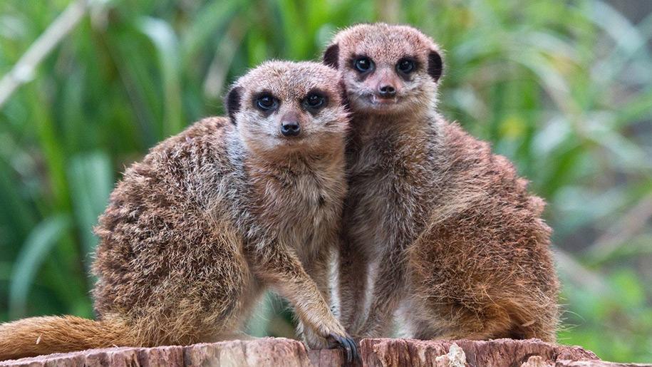 Newquay Zoo meerkats