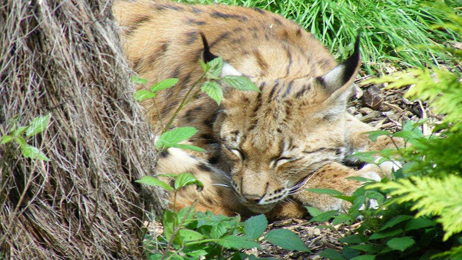 Newquay Zoo cat