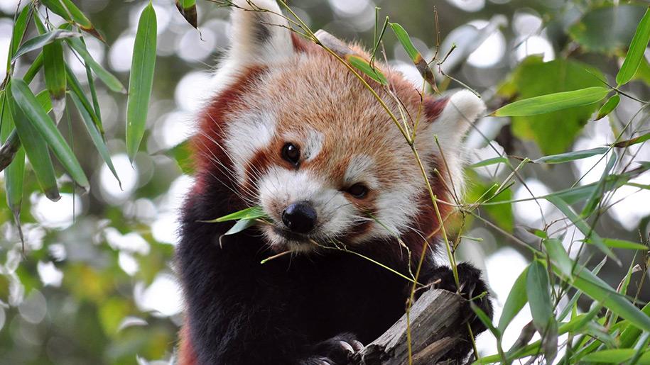 Newquay Zoo Red Panda