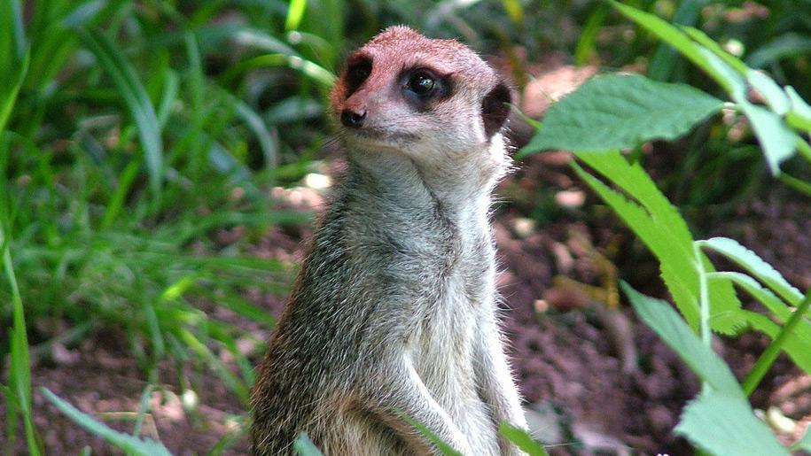 Paignton Zoo meerkat