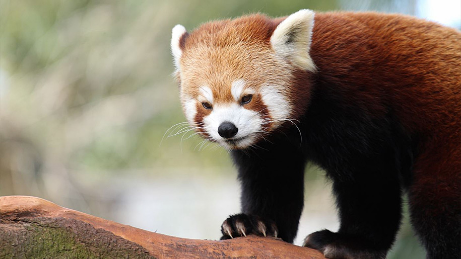 Paignton Zoo Red Panda