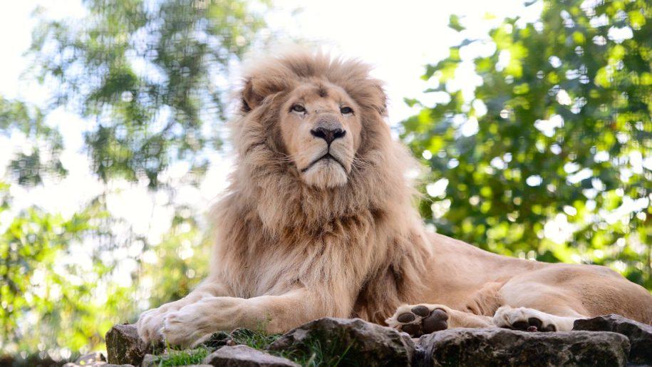 white lion on rock