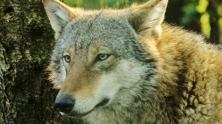 Paradise Wildlife Park wolf