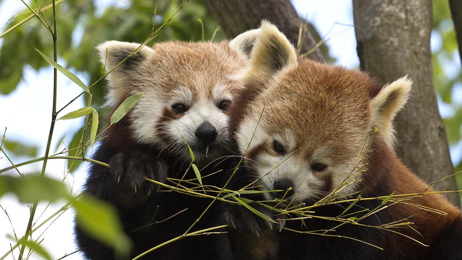 Paradise Wildlife Park red pandas