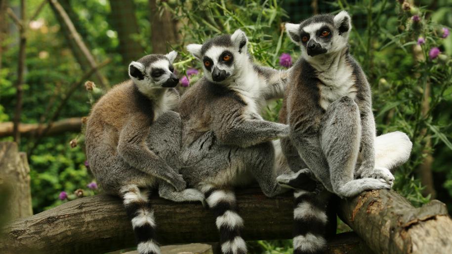 Paradise Wildlife Park lemurs