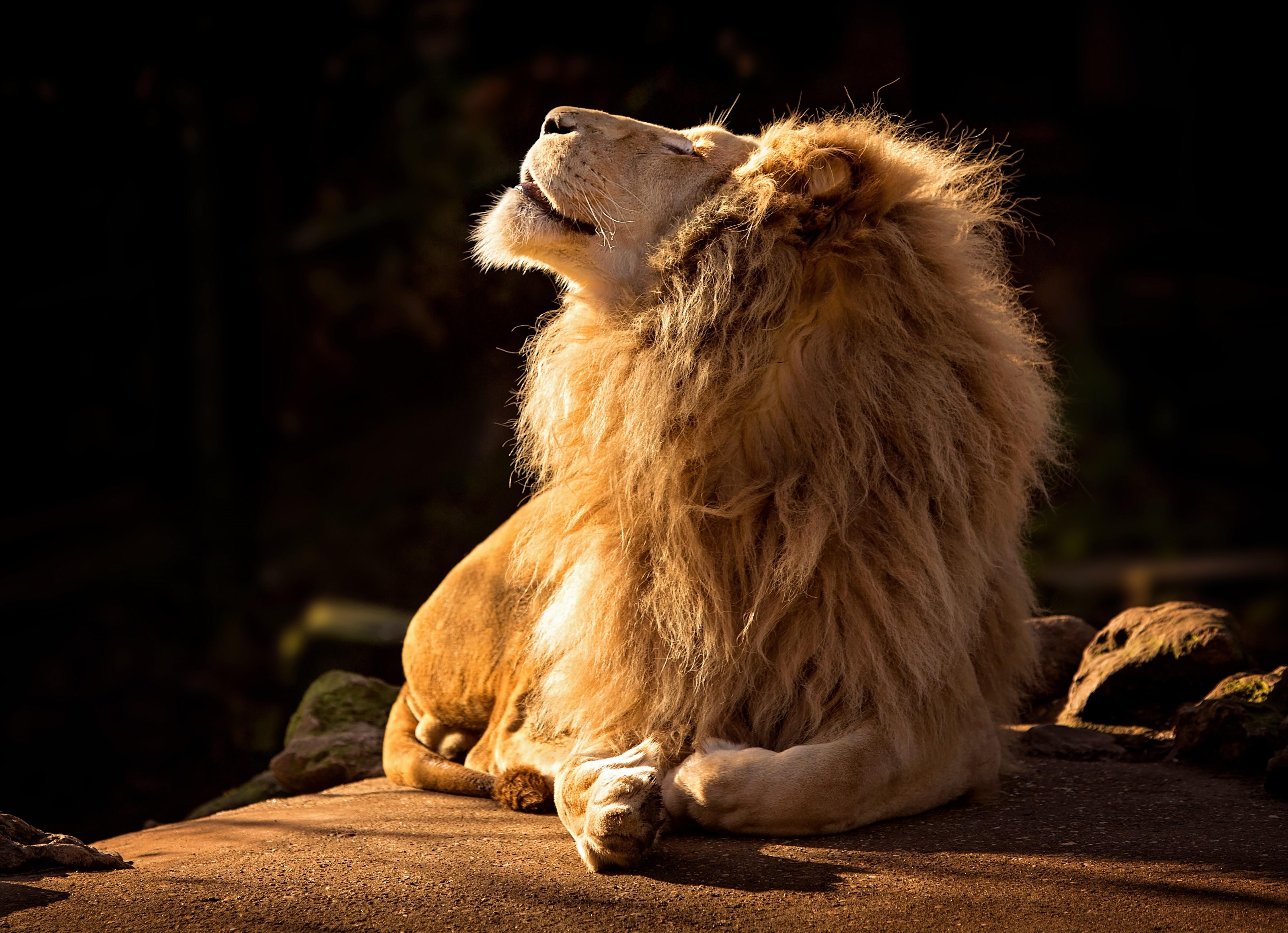 White lion in sunshine