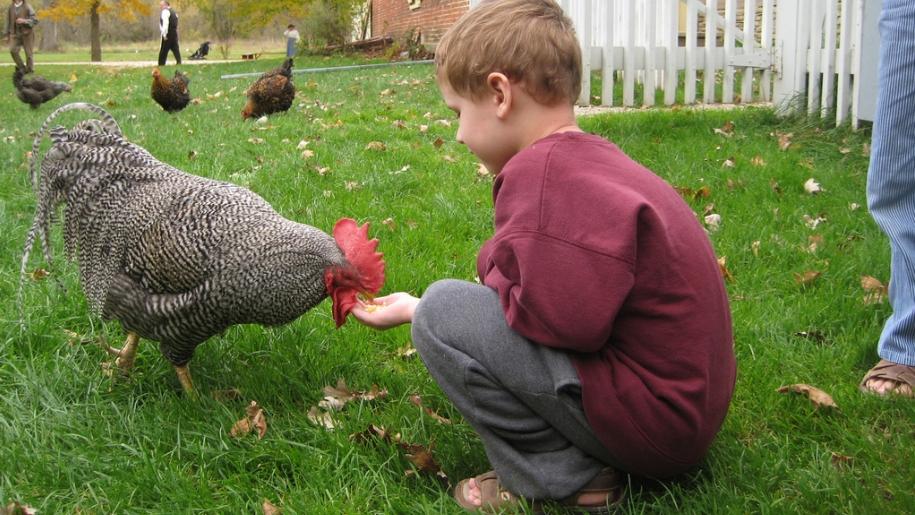 child feeding chicken